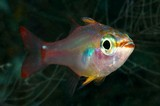 Ostorhinchus dispar Redspot cardinalfish New Caledonia clear coastal to outer reefs