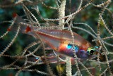 Ostorhinchus dispar White-spot cardinalfish New Caledonia Found in caves of drop-offs