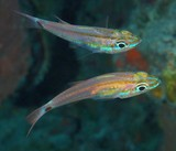 Ostorhinchus franssedai Frans Seda cardinalfish New Caledonia seen in caves or under ledges during the day