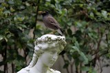 Acridotheres tristis pest bird Common Myna in Sydney Australia