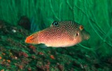 Canthigaster solandri Sharpbacked puffer Oman Mussandam fish scuba diving
