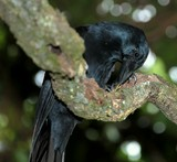 Corvus moneduloides New Caledonian Crow using tool