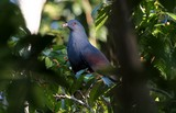 Ducula goliath Notou Bird with red eyes New Caledonia endemiq fauna New Caledonian Imperial-pigeon