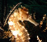 Hippocampus kuda Spotted Seahorse Musandam Sultanate of Oman Underwater picture