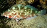Hipposcarus longiceps Pacific longnose parrotfish Night picture New Caledonia