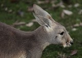 Brisbane Australia Queensland kangaroo is a marsupial from the family Macropodidae