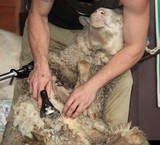 Brisbane Australia Queensland remove wool from domestic sheep