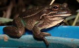 Litoria aurea voracious eaters of insects New Caledonia