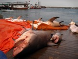 Shark fish market Dibba Oman Sultanate diving underwater attack by monstrous wild species
