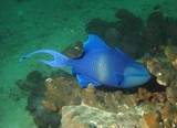 Red-toothed triggerfish - Oman - Ras Lima