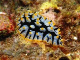 Phyllidia rueppelii nudibranch Oman dibba diving