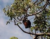 Pteropus poliocephalus Grey-headed Flying-Fox megabat native to Australia