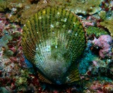 scallop musandam oman dibba diving underwater picture shell green