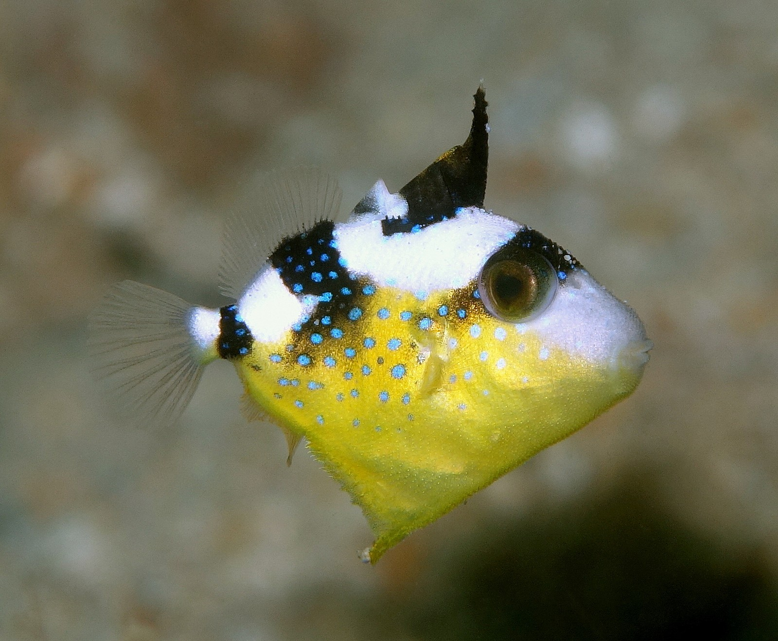 Pseudobalistes fuscus Yellow-spotted triggerfish juveniles yellowish brown with bluish grey spots and blotches